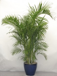 https://www.irrigazioneagricoltura.it/blog/wp-content/uploads/2017/03/Areca-Palm-227x300.jpg